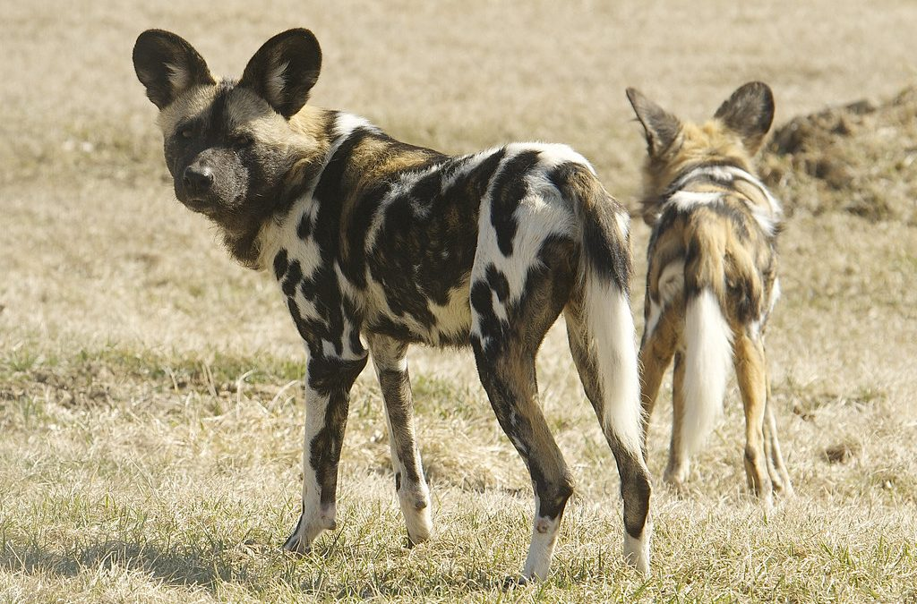 Social Behavior of African Wild Dogs
