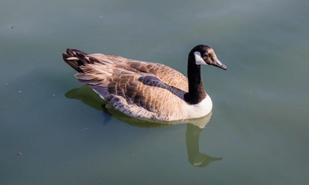 Grazing Habits and Social Behavior of Canadian Geese