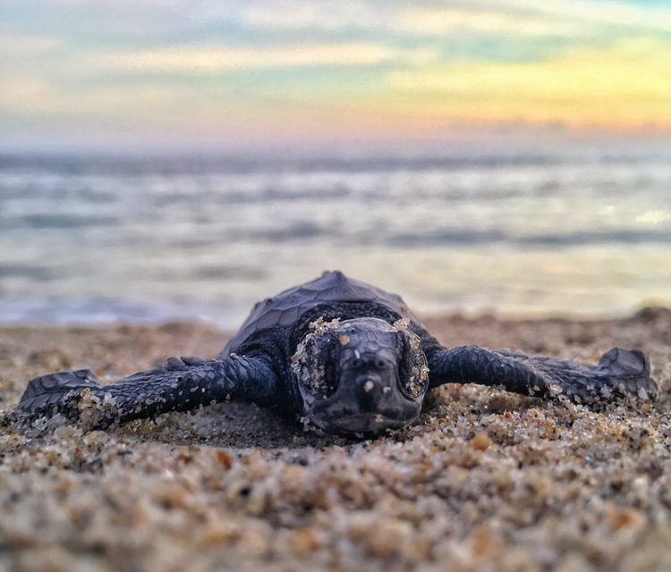 How To Tell A Baby Turtle Is A Sea Turtle