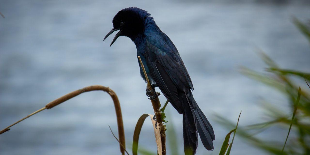 Mating Rituals of The Umbrella Bird