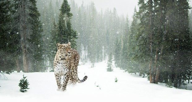 Hunting Patterns of Snow Leopards