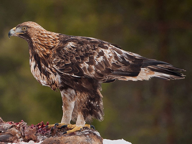 6 Largest Birds of Prey in North America