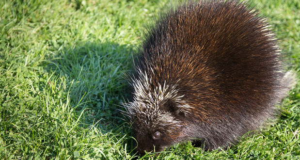 5 Facts about Porcupine Reproduction